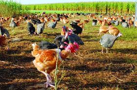 Message d'alerte - Viande fraîche de poulet
